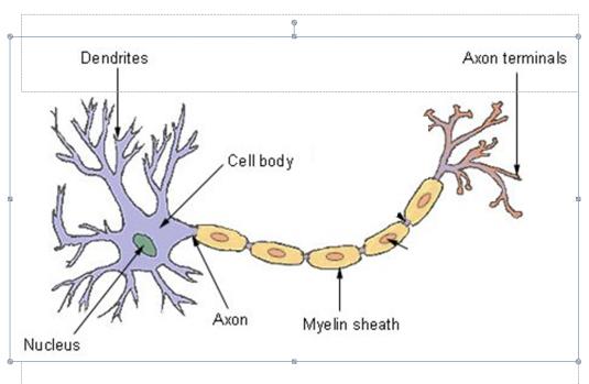 neuron
